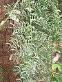 Asparagus racemosus - Satawari flowers - at Peravoor 2018 (11).jpg