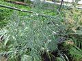 Asparagus scoparius 01.JPG