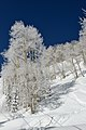 Aspen Mountain ski area aspen trees FIS chair detail.jpg