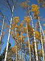 Aspen and birch (6235495240).jpg