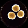 Aspergillus dimorphicus meaox.png