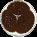 Aspergillus eucalypticola cya.png