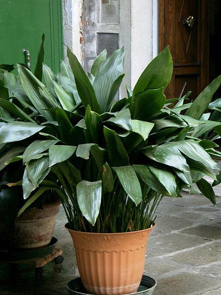 File aspidistra elatior 01 wikimedia commons - Plantas de interior resistentes ...