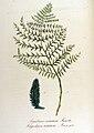 Aspidium cristatum — Flora Batava — Volume v12.jpg