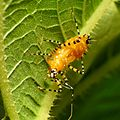 Assassin Bug Nymph - Flickr - treegrow (8).jpg