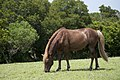 Assateague Island horses August 2009 2.jpg