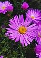 Aster alpinus flower.jpg