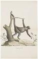 Ateles paniscus - 1818-1842 - Print - Iconographia Zoologica - Special Collections University of Amsterdam - UBA01 IZ20200105.tif