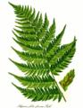Athyrium filix-femina leaf.png