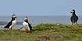 Atlantic Puffins (Fratercula arctica) - Elliston, Newfoundland 2019-08-13 (06).jpg