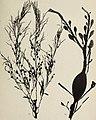 Atlas des algues marines les plus répandues des côtes de France - 48 planches représentant 108 espéces d'algues faciles a récolter avec leur description ainsi que celles des espèces les plus viosines (20155882868).jpg