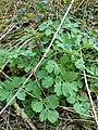Atlas roslin pl Glistnik jaskółcze ziele 6320 8333.jpg