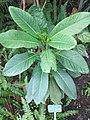 Atractocarpus heterophyllus (Jardin des Plantes de Paris).jpg