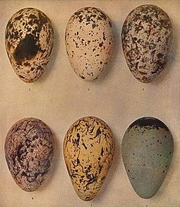 Razorbill and guillemot eggs from The Eggs of the Birds of Europe Plate CLXXVlll Auk eggs from The Eggs of the Birds of Europe.jpg