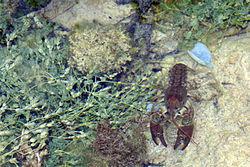 Écrevisse à pattes blanches, dans son milieu naturel, en Espagne