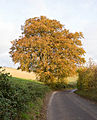 Autumn Beech tree beside road near Warnford - geograph.org.uk - 604334.jpg
