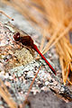 Autumn meadowhawk (25613624342).jpg