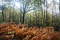 Autumnal coloured Bracken in Fore Wood - geograph.org.uk - 1577189.jpg