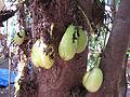 Averrhoa Bilimbi Fruit.jpg