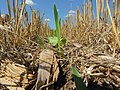 Awesome Cover Crops started in Eastern South Dakota (14941079819).jpg