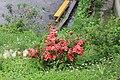 Azalea at Gangtok.jpg