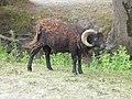 Bélier (Rams) (4).jpg