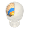 BA17,18,19 - Visual cortex (V1, V2, V3) - posterior view.png