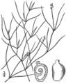 BB-0201 Potamogeton gemmiparus.png