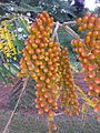 BCBG Colvillea racemosa flower buds 03.jpg