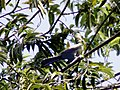 BIRDS GAMBIA-8112 (6989723795).jpg