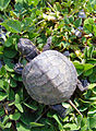 Baby-Painted-Turtle.jpg