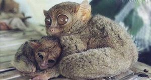 Tarsier with a baby