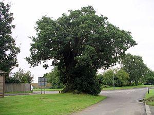 Baginton - Image: Baginton oak 21l 07