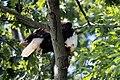 Bald eagle in tree with prey conowingo (27727988103).jpg