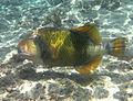 Balistoides viridescens Réunion.jpg