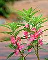 Balsam flowers 05.jpg