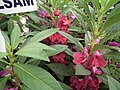 Balsam from Lalbagh flower show Aug 2013 7973.JPG