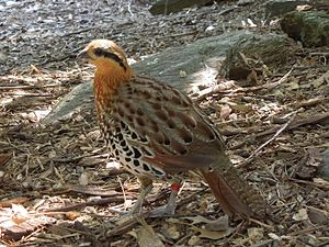 Mountain bamboo partridge - Adult male at Smithsonian National Zoo, Washington, USA