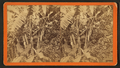 Banana trees, from Robert N. Dennis collection of stereoscopic views 2.png