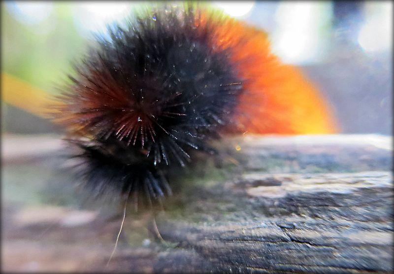 File:Banded Wooly Bear (Isabella Tiger Moth Caterpillar).jpg
