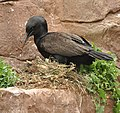 Bank Cormorant at Living Coasts.jpg
