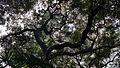 Banyan tree Foster Botanical Gardens.jpg