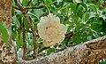 Baobab Flower (Adansonia digitata) (6001449319).jpg