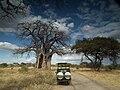 Baobabs in Tanzania 0814 Nevit.jpg