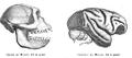 Barbarymaqaqueskull&brain.png