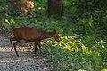 Barking-Deer Manas-Tiger-Reserve Assam India.jpg