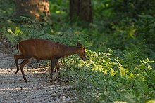Barking-Deer Manas-Tiger-Reserve Assam India.jpg