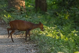 Indian muntjac species of mammal