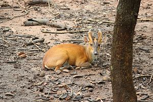 Muntjac - Barking deer found in Pilikula zoological park