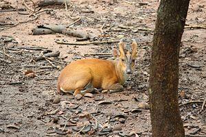 Muntjac - Barking deer found in Pilikula zoological park